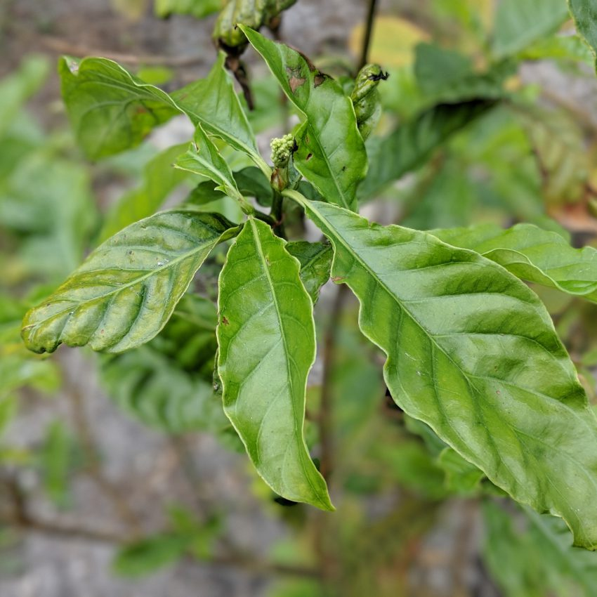 ayahuasca for sale p.viridis leaf