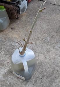 Best Method to Root Kratom Cuttings - Water Jug Method
