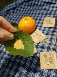 Fresh kratom leaf with sugar in the center