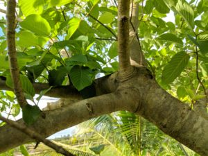 Tips for growing unrooted Kratom cuttings taken from Kratom trees