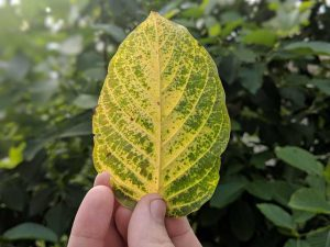 Buy Raw American Kratom Leaf
