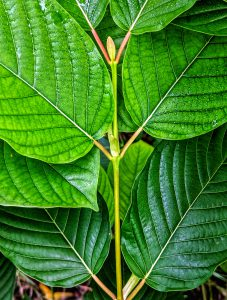 Buy Maeng Da Thai Kratom leaf wholesale