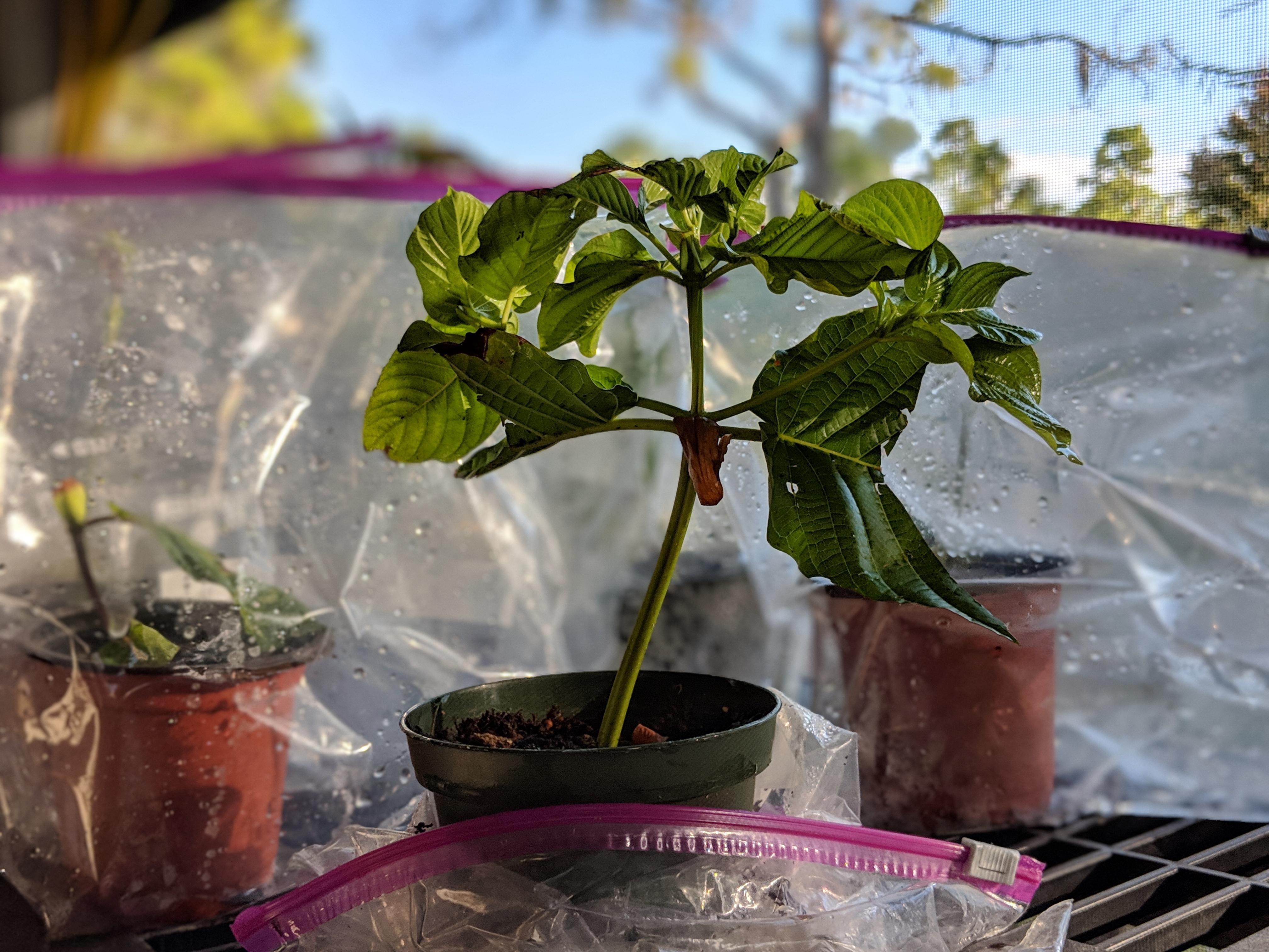 Buy Maeng Da Thai Kratom cuttings