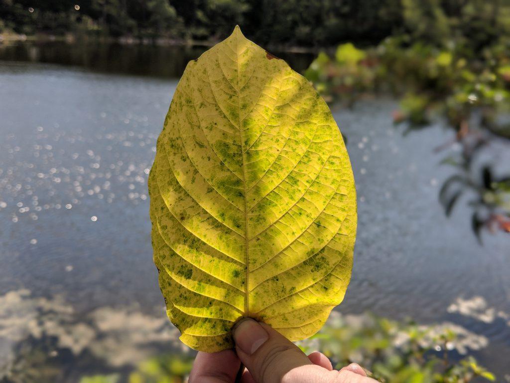 Mature Kratom Leaf