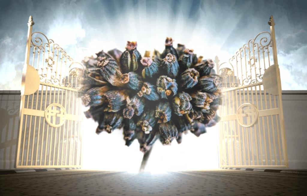 God Kratom Seed Pod at the Gates of Heaven
