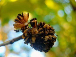 Bumble Bee Kratom Seed Pod- Fresh USA Grown