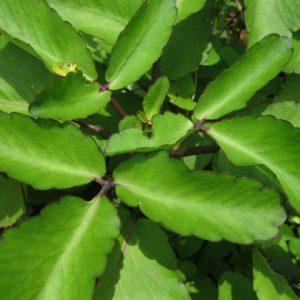 Leaf of Life